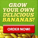 incredible indoor banana tree - buy one get one free